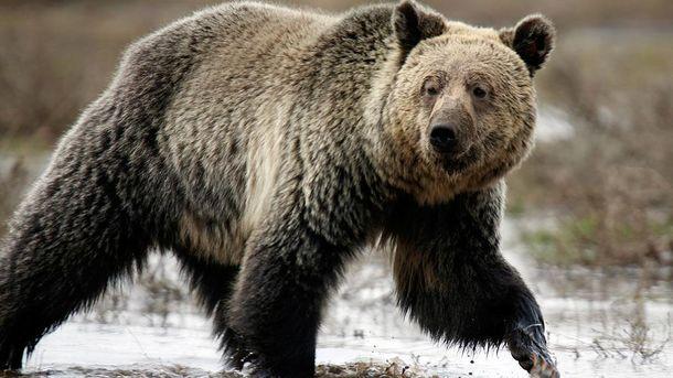 Медведь напал на подростка
