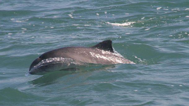 Дельфины в Черном море могут погибнуть из-за военных учений России