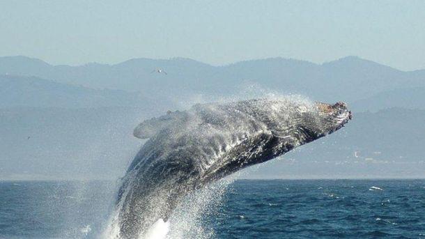 ВКанаде кит убил спасшего его изсетей рыбака