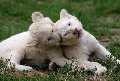 Детеныши редкого белого льва