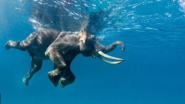 На Шри-Ланке 12 часов спасали слона, который заплыл на 16 километров от берега