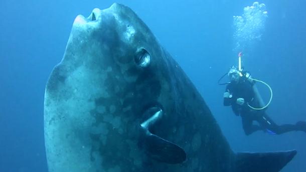 «Помісь млинця і валізи зплавниками»: науковці виявили новий вид гігантських риб