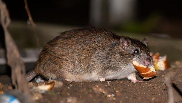 Крысы в Москве