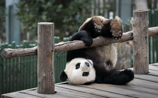 Панда впала