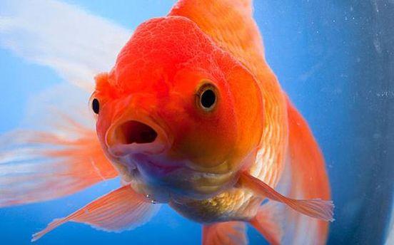 Яка речовина допомагає золотим рибам жити під кригою: неочікувана відповідь