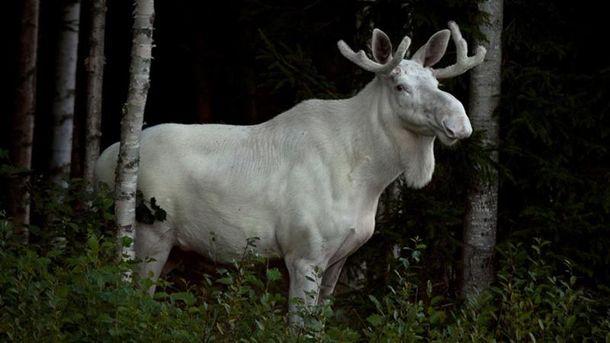 Необычайный редкостный белый лось очаровал пользователей Сети— смешное видео