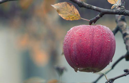 Китайский иамериканские ученые назвали отчизной яблок Казахстан