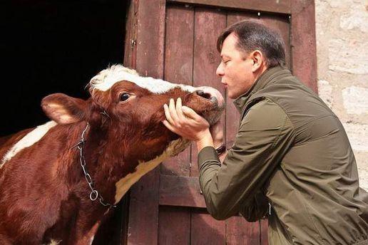 Ляшко цілує корову