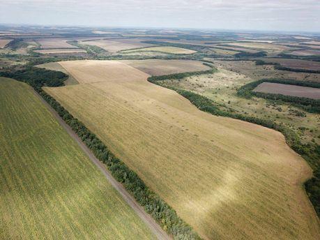 Марихуана посеред кукурудзи