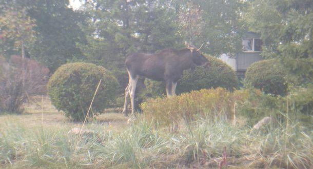 На дорогах столицы Украины увидели лося