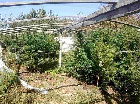 ВХерсонской области обнаружили плантацию конопли на1,5 млн грн