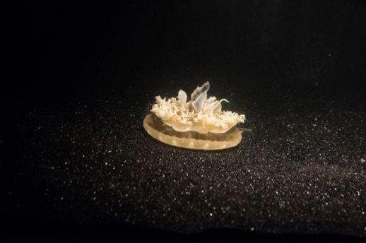 Медуза Cassiopea