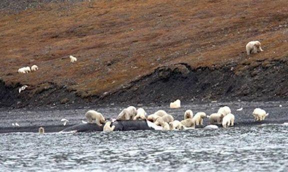 Больше 200 белых медведей сфотографировали водном месте