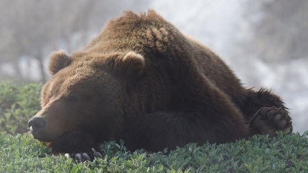 Ведмідь (ілюстрація)