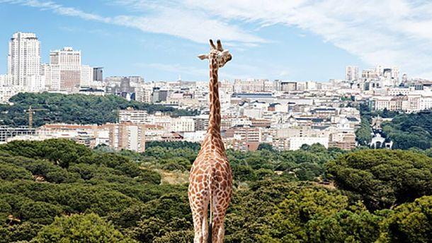 Жираф (Иллюстрация)