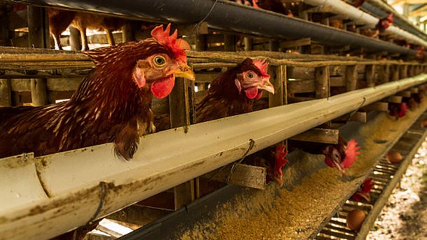 У Японії вивели ГМО-курей