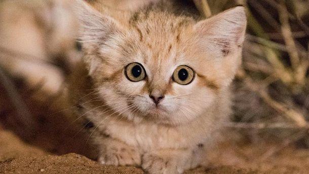 Кошенятко барханної кішки