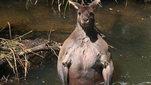 Мускулистий кенгуру з Австралії