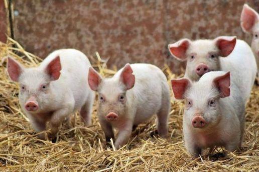 Африканська чума свиней поширилася ще на 4 області в Україні
