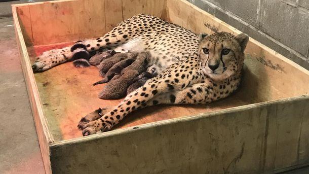 Вамериканском зоопарке самка гепарда родила рекордное число детенышей