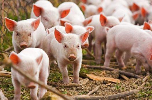 Україна заборонила ввезення свиней з Польщі