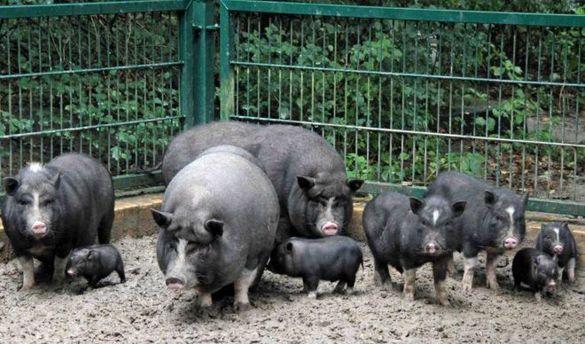 ВНиколаевской области пенсионера загрызли ичастично съели вьетнамские свиньи