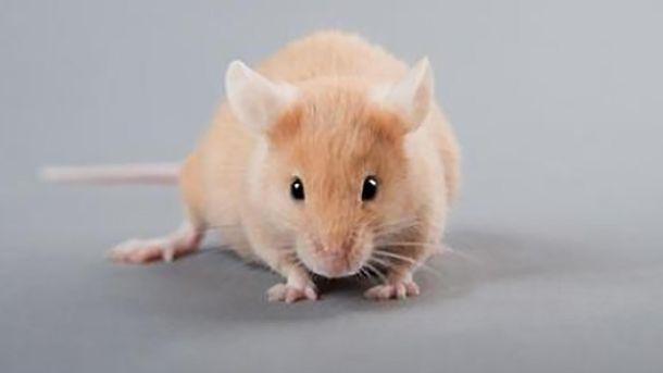 Кров молодих тварин омолоджує мозок: результати досліджень