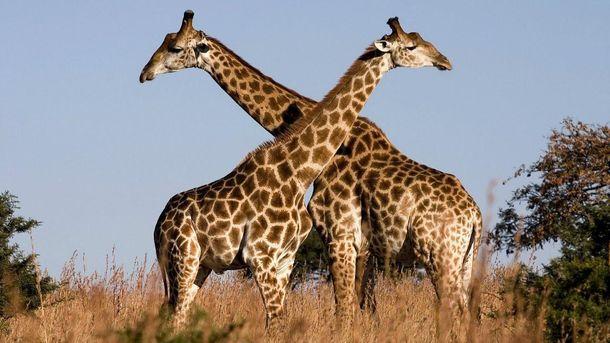 Жираф, спасаясь открокодила, угодил впасти львов