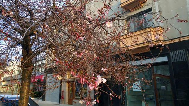 У Мукачеві зацвіли сакури
