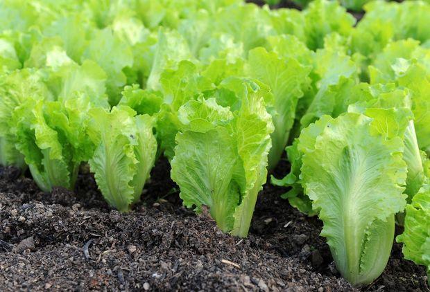 Сезонні продукти червня: салат-латук