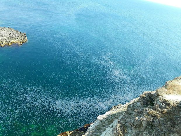Нашестя медуз в анексованому Криму