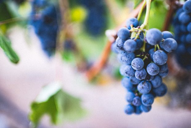 Сезон винограду – кінець серпня, вересень та початок жовтня
