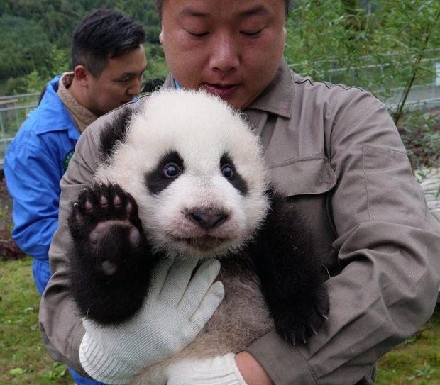 Новонароджені пандочки в Китаї