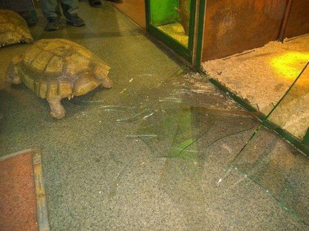 Тварини, черепахи, Іркутськ, втеча, зоопарк