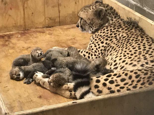 У США гепард народила 8 малюків