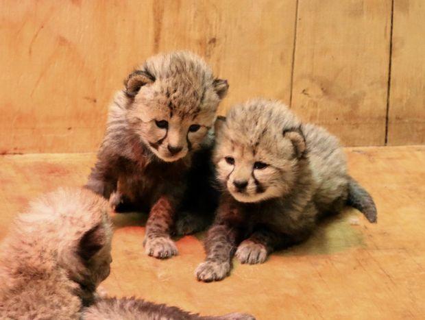 Маленькі гепарди народилися у США