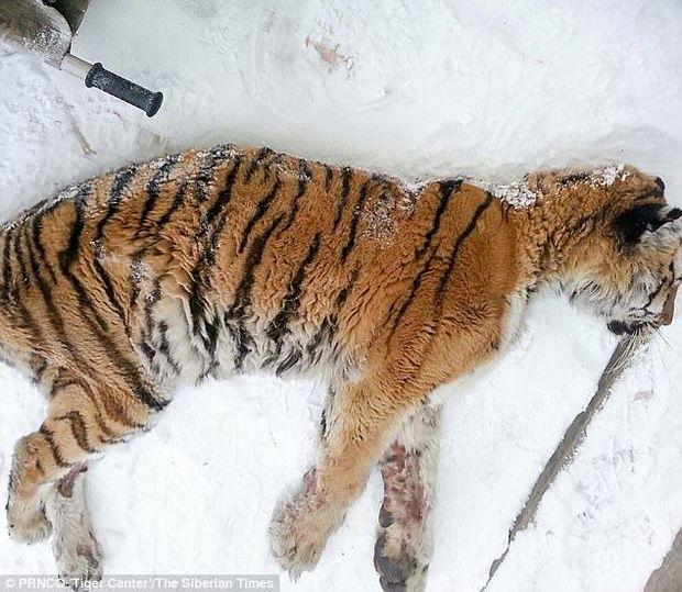 Сибір тигр Росія