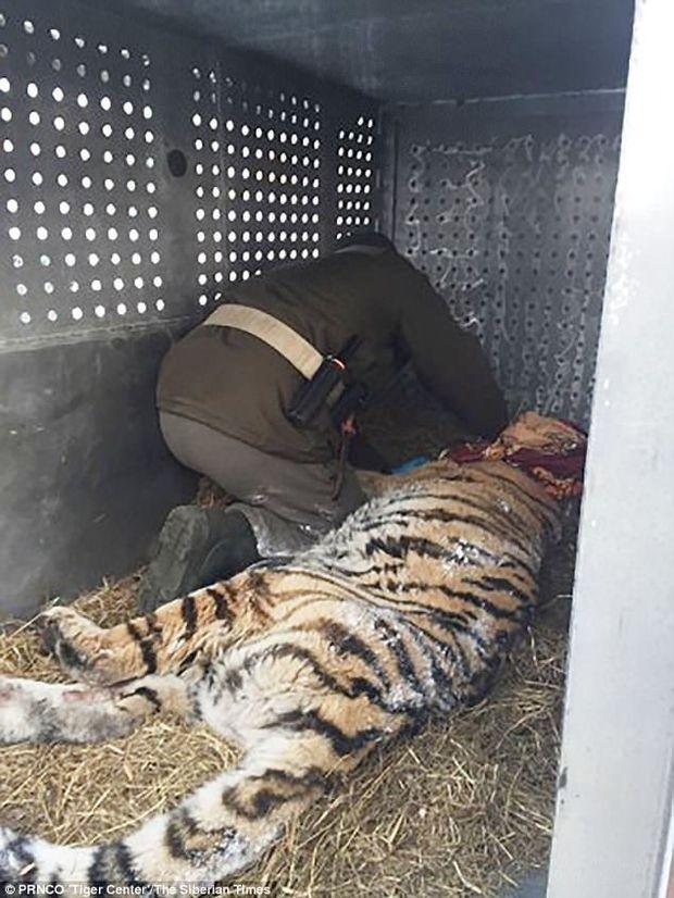 Тигр Сибір