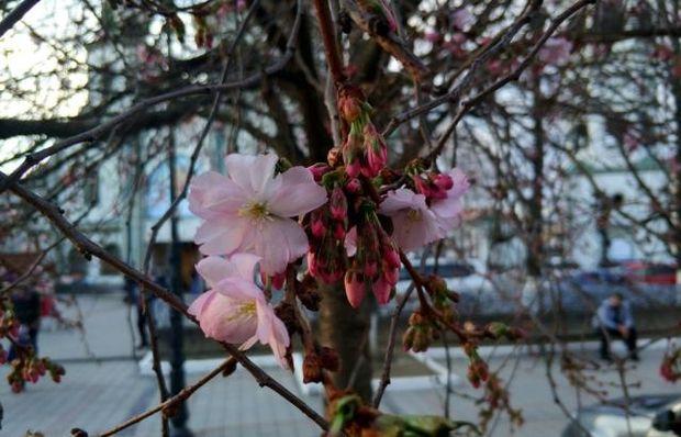 У Мукачево зацвіли сакури