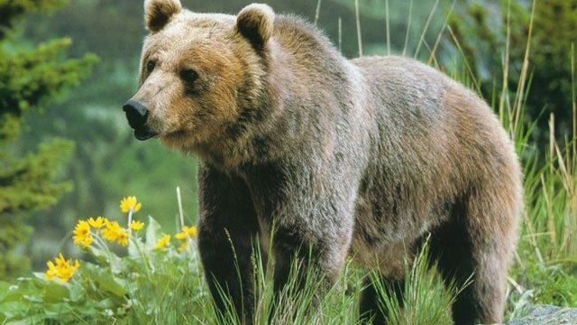медведь здоровое питание